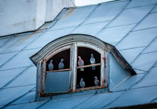 Tauben- & Vögel